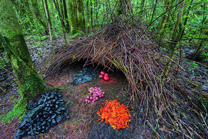 The Aesthetic Sense of Bowerbirds